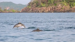 Panoramic view of sea surface breaking by pod of Spinner Dolphins. Sri Lanka  Stock Footage