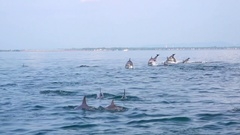 Big group of porpoising Dolphins. Sea animals hunting and migration. Sri Lanka Stock Footage