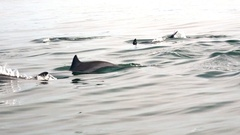 Family group of Dolphins move through tropic sea lit by sun. Sri Lanka Stock Footage