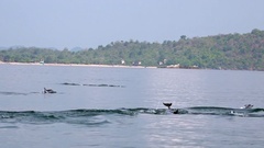 Dolphins chasing fish and breaching in morning. Sri Lanka Stock Footage
