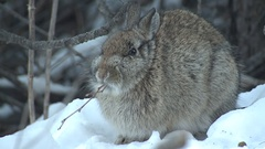 Bunny Rabbit ie Eastern Cottontail Eating Woody Twigs in Winter Snow Stock Footage
