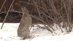 Cottontail Rabbit Standing and Eating Woody Shrub Ornamental in Winter Stock Footage