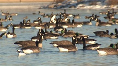 Large Flock of Geese Ducks and Waterfowl on Water in Lake Stock Footage