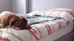 Pan of wrinkled dog on masters bed Stock Footage