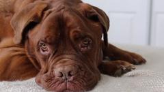 Shifty eyed Dogue de Bordeaux Stock Footage