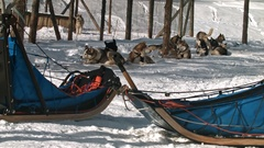 Huskies having a rest before sled dogs race Stock Footage