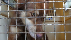 Dog in Cage. Cruelty to Animals and Animal Abuse Stock Footage