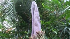 Rare Titan Arum or Amorphophallus Titanium corpse flower in bloom Stock Footage