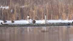 Swans and ducks looking for food on a frozen lake bordered by reeds Stock Footage