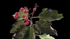Time-lapse of drying Sorbus Aria leaves in RGB + ALPHA matte Stock Footage