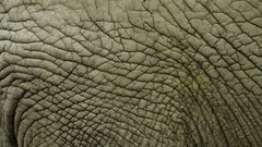 Elephant hide - thick skin - pachyderm - wrinkles Stock Footage