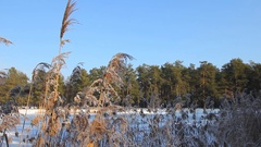 Reeds during the winter period Stock Footage