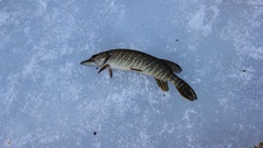 Ice fishing for Esox Lucious. Big winter pike caught on rattle bait Stock Footage