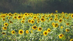 Panning shot of sunflower Stock Footage