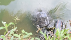 Turtles are reptiles in a pond Stock Footage
