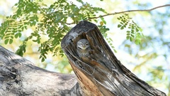 Bird (Spotted owlet, Owl) in hollow tree trunk Stock Footage