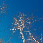 Branches and trunks of birch trees on a background of the cloudless sky. Stock Photos