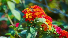 Beautiful Colorful Flowers With Green Leafs Are In A Garden Stock Footage