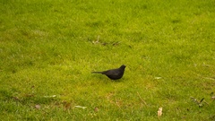 Black bird jumping on the green grass Stock Footage