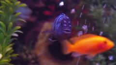 Freshwater aquarium fish. Stock Footage