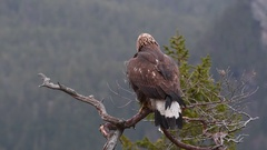 Golden Eagle (Aquila chrysaetos) on branch of a dead tree, shaking feathers. Stock Footage