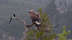 Golden Eagle (Aquila chrysaetos) on brach of a dead tree looking at an Eurasian Stock Footage