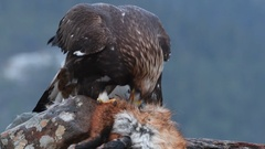 Golden Eagle (Aquila chrysaetos) feeding on Red Fox  (Vulpes vulpes) Eurasian Stock Footage