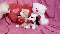 Cute Valentines Day Husky puppy playing with plush toys Stock Footage