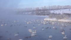 Swans on Altai lake Svetloe in the evaporation mist  at evening time in winte Stock Footage