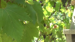 Grapes growing in a sunny courtyard in a French garden Stock Footage