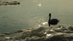 4K Curious Swan near Border Ice on a River in a Cold Winter Day 1 Stock Footage