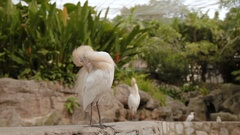 The cattle egret (Bubulcus ibis), a cosmopolitan species of heron. White bird Stock Footage
