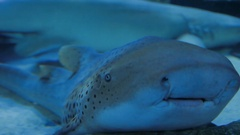 Jaws of Leopard (zebra) Shark (Stegostoma fasciatum). Close up clip of spotted Stock Footage