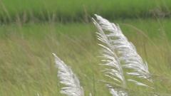 Kans grass (Saccharum spontaneum), at Kolkata, West Bengal, India Stock Footage