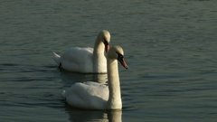 4K Swan Family on a Winter Day Stock Footage