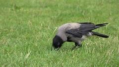 4K Wild crow bird hide bread in green grass wildlife natural habitat environment Stock Footage