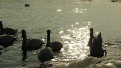 4K Swans Looking for Food near Border Ice on a River in a Cold Winter Day 2 Stock Footage