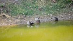 Three Black Ducks Are Playing Front Of The River Stock Footage