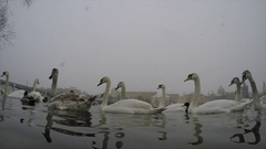 The elegant white swans, ducks and drakes on the river in winter Stock Footage