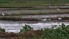 Intermediate Egret (Egretta intermedia) feed on harvested rice fields nea Hoi An Stock Footage