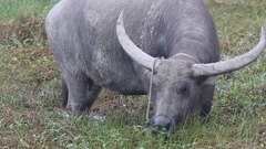 Female Water buffalo (Bubalus bubalis) eats grass in the pasture near Hoi An Stock Footage