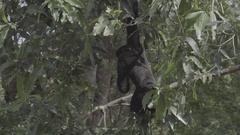 Black asian gibbon hanging on tree Stock Footage