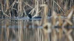 Coot Fulica atra looking for food on a lake, sinking under water Stock Footage