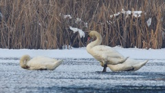 Three swans Cygnus olor sitting on a frozen lake and clean their feathers Stock Footage