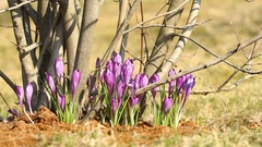 Purple crocuses grow on trees in spring Stock Footage