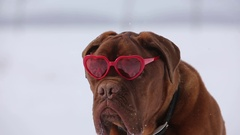 Dogue de bordeaux with heart shaped valentine glasses out while it snows Stock Footage