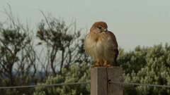 Hawk sitting on wooden post Stock Footage