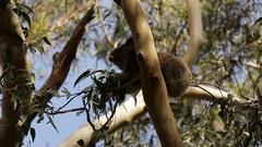 Koala bear feeding on eucalypt leaves Stock Footage