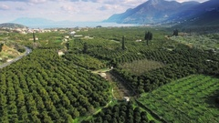Orange trees plantation olive green wide scenery farming valley bay aerial Stock Footage