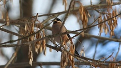 Bullfinch (Pyrrhula pyrrhula) female  sitting on a branch and eating maple seed Stock Footage